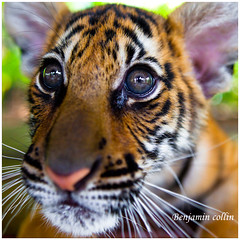 Baby tiger (Ben 5D MKII) Tags: voyage travel light summer vacation portrait orange baby holiday color green art nature animals canon geotagged photo asia bokeh tiger benjamin collin tigre thailande nohdr canoneos5dmarkii