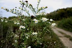 Growth among the dust. (Katelyn Kenderdine) Tags: white flower green photography photo focus jeep bluesky quad ladybug tall offroading greengrass dustyroad kmk kmk7702 katelynsphotography