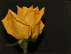 Yellow reminds me of sunshine (Angella's Photography) Tags: flowers roses floral photography la nikon angella masterphotos d5000