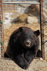 Chowti, hanging out in her new digs (WSPA Canada) Tags: bear door new food home up female blind time outdoor pictured structures her give used using explore smell brc were after safe forced took trade period refused baiting sticking borders alternative owner quarantine asiatic enclosure sense herself opened confiscate coaxed timidly chowti liveihood familiarise