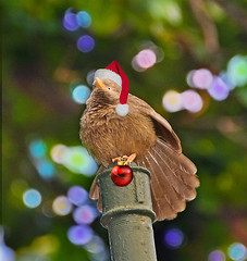 Joyeux Noel.. (Rosita So Image) Tags: holiday bird festival photoshop bokeh pipe noel christmashat christmasball