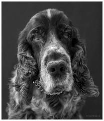 Dusty (Patri Morales Photography) Tags: portrait dog chien dusty corua retrato perro spaniel cocker garcia patricia viejo raza morales patri davinia bribes