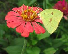 Cloudless Sulphur on Zinnia (MickiP65) Tags: pink flowers wild plants usa plant flower nature animal animals gardens yard canon butterfly bug garden insect backyard florida wildlife web butterflies insects bugs september creation northamerica fl zinnia plantae creatures creature 2009 cedarkey asteraceae animalia levy arthropoda allrightsreserved zinnias sumner copyrighted insecta asterales angiosperms cloudlesssulphur heliantheae img1149 michellepearson asterids websized 20090905 09052009 090509 sep052009