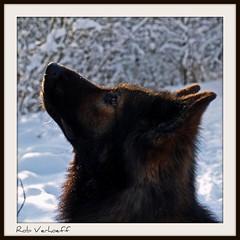 Aksay van de Woldstreek (Rob Verhoeff) Tags: sneeuw olympus zoetermeer herder e500 herdershond 1445mm oudduitseherder balijbos aksay balij