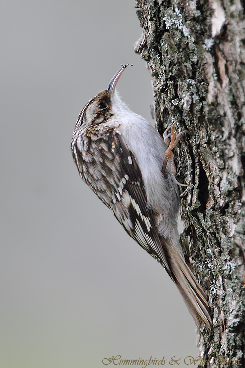 Brown-Creeper-111009