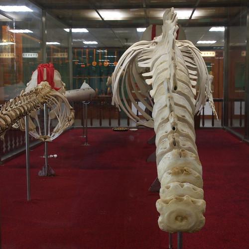 大小抹香鯨的軀幹