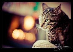 Abbie The Tabby (Sean Molin Photography) Tags: christmas cat 50mm fireplace feline dof bokeh iso400 tabby noflash depthoffield shallowdof backgroundblur 50mmf12 extremebokeh creamybokeh nikond700 0mmf0 nikonnikkor50mmf12ais copyright2010seanmolin december252010 1125secatf12