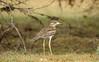 stone curlew (Burhinus oedicnemus indicus ) (Gurusan2010) Tags: westernghats stonecurlew eos400d tamilnadubirds sigma120400 burhinusoedicnemusindicus