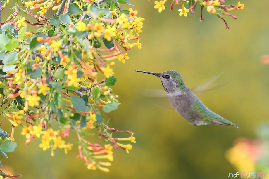Anna's Hummingbird 022810-50