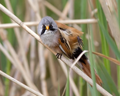 Wash and Brush Up  2 (Andrew Haynes Wildlife Images) Tags: bird nature wildlife norfolk beardedtit canon7d ajh2008