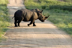 ZA_Kruger_0027 (JoLaVal) Tags: africa park animals south animais za sul kruger ringexcellence dblringexcellence allofnatureswildlifelevel1 allofnatureswildlifelevel2 allofnatureswildlifelevel3