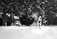 Finished (Deby Dixon) Tags: street trees blackandwhite dog house mailbox photography nikon action 85mm canine neighborhood idaho firehydrant snowing deby coeurdalene allrightsreserved 2010 selectivecolor exuberant debydixon debydixonphotography dogisrunning