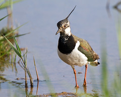 Lapwing 3 (Andrew Haynes Wildlife Images) Tags: bird nature wildlife norfolk nwt lapwing nwy cleymarsh canon7d ajh2008