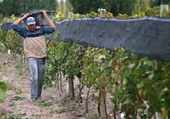 INV: Mendoza pierde 20% de uva por las heladas tardías