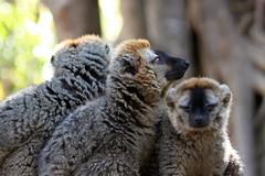 trio (lapeppina) Tags: lemur madagascar foresta lemuri profilo