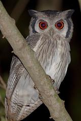 White-faced scops owl (Otus leucotis)