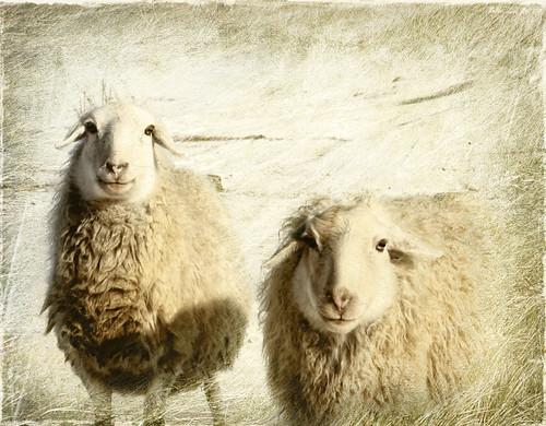 [フリー画像] 動物, 哺乳類, ウシ科, 羊・ヒツジ, 201101121100