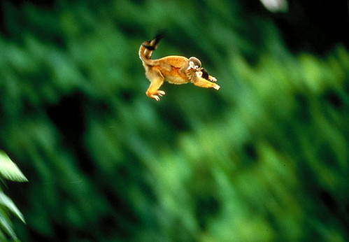 squirrel_monkey_jump