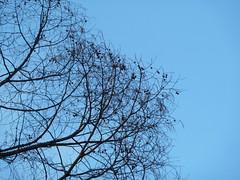 20110112_StanleyPk_DawnRedwood_Cutler_P1070719 (wlcutler) Tags: stanleypark metasequoia dawnredwood metasequoiaglyptostrobides glyptostrobides