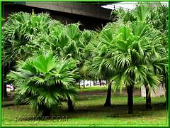 Livistona chinensis (Chinese Fan Palm, Fountain Palm): mass-planted at a roundabout