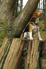 Tucker watching for squirrels (kerrywho) Tags: dog beagle dogs furry canine tucker beagles flossy