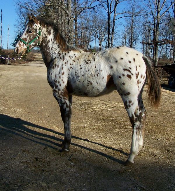 The World's Best Photos of appaloosa and male - Flickr Hive Mind
