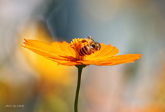 cosmos flower #12 [explored] (e.nhan) Tags: light flower nature yellow colorful colours dof bokeh cosmos backlighting enhan