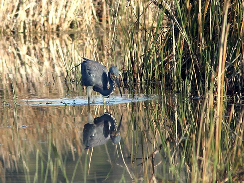 Tricolored Heron 20110120