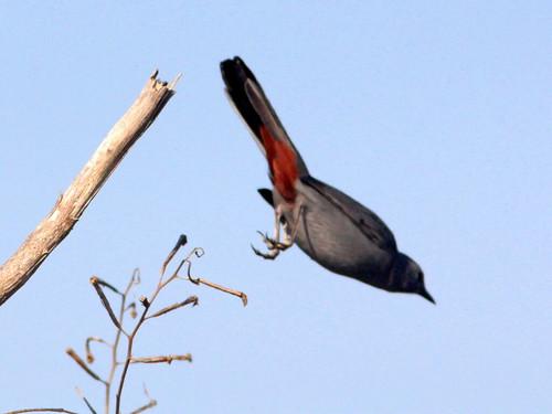 Gray Catbird 2-20110120
