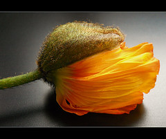 Birth of a yellow poppy blossom 2 (*Gitpix*) Tags: flowers flower color macro nature nikon blossom natur blumen poppy coolpix 1001nights blume makro blte farben blten mohn mohnblume magiccity flickraward tripleniceshot flickraward5 mygearandme mygearandmepremium mygearandmebronze mygearandmesilver mygearandmegold mygearandmeplatinum mygearandmediamond dblringexcellence