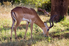 GAZELLE ---> CORRECTION! IMPALA! (Thanks Infinite Monkey) (Austrian Alex) Tags: africa vacation animal kenya safari impala tsavoeast canon70300mm canon50d pregamewinner