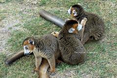 P1060258 (LaBonVampire) Tags: lemur animals nature leica leicalenses lumix