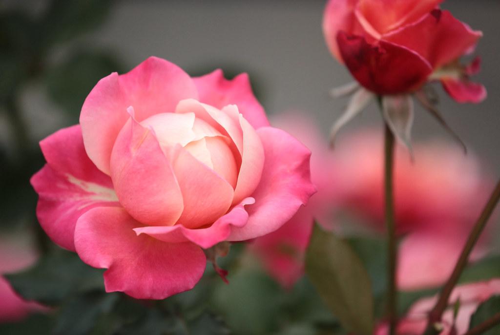 Roses of Nakanoshima Park
