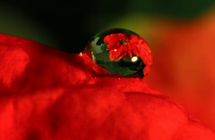 Christmas Poinsettia Water Drop Macro (Don Briggs) Tags: red flower macro poinsettia drop canon60d waterdroprefraction donbriggs tamron90mm28macrolens poinsettiawaterdropmacro