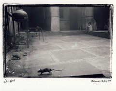 Boy and rats, India (Dan_wood) Tags: leica india rat rats bikaner hampi handprinted darkroomprints danwood religiousceremony 35mmsummilux templeofrats