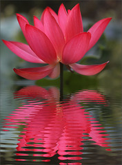 Red lotus Petals / lotus petal (Bahman Farzad) Tags: red flower macro reflections lotus lotusflower lotuspetal lotuspetals lotusflowerpetal