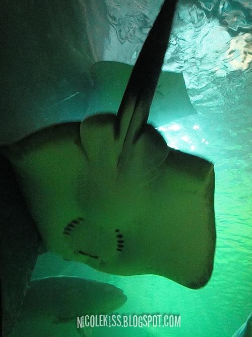 huge manta ray
