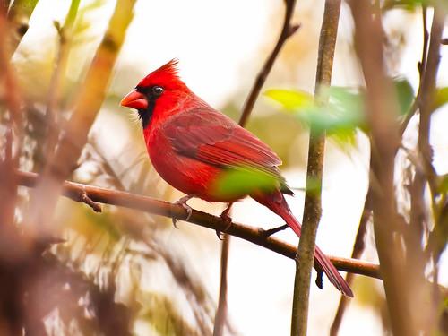 1st cardinal