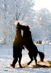 Djarfur och Hagge (G Er Foto) Tags: horses horse animal factory grandmother häst hästar bigmomma icelandichorse islandshäst gamewinner favescontestwinner thechallengefactory thepinnaclehof factorywinner tphofweek75 favescontestrunnerup