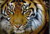 Tiger, Tiger, burning bright... (~Clubber~) Tags: eyes stare gaze sumatran torontozootorontocanadaanimalsmammalstiger