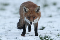Nearly Full Grown (Dan Belton ( No Badger Cull )) Tags: uk autumn snow mammal cub december native leicestershire wildlife fox kits cubs kit loughborough vulpesvulpes nofoxhuntingever
