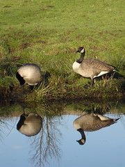 mirror image (waynesidderley) Tags: pets green water birds animals reflections lakes canals rivers streams ponds