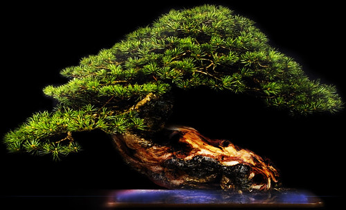 """Bonsai053 • <a style=""""font-size:0.8em;"""" href=""""http://www.flickr.com/photos/30735181@N00/5261942208/"""" target=""""_blank"""">View on Flickr</a>"""