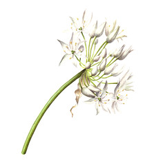 Allium ursinum ~ Ramsons (Sigrid Frensen) Tags: white flower bulb spring watercolour ramsons alliumursinum daslook botanicalart