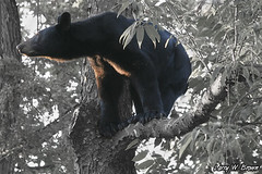 Out On A Limb (Larry W Brown) Tags: virginia sow blackbear shenandoahnationalpark amazingwildlifephotography