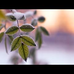 le sucre (~janne) Tags: schnee winter sun tree green dof olympus grün dezember blatt eis sonne baum wetter wetzlar leitz janusz summiluxr e520 ziob