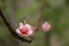 nostalgic (yoursignaturehere) Tags: pink flower nature spring peach peachtree peachflower