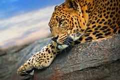 ***** Leopard ***** Leopardo-Panther