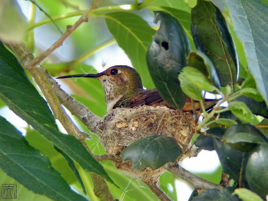 Allen's Hummingbird nest 0327101
