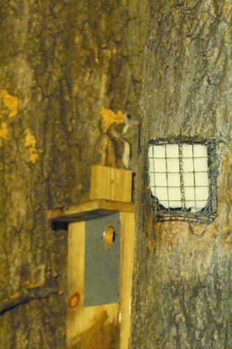 Night glider: southern flying squirrel
